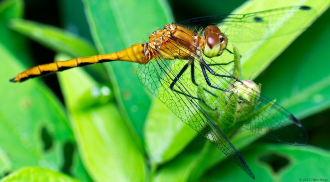Did You Know Dragonflies Can Do Backflips?