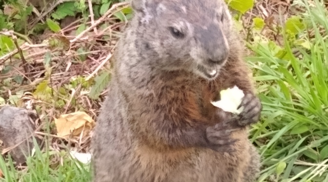 The Real Groundhogs of New Jersey